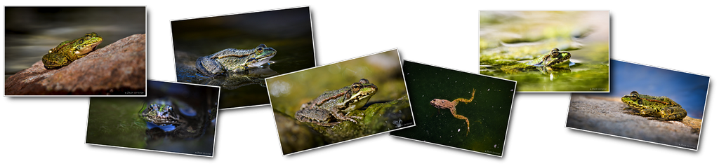 Photos haut grenouilles Jonik